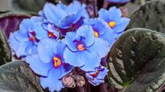 Blue Saintpaulias flowers, African violets close up, green leafs