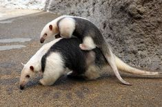 Southern Tamandua Brings Up Her Baby