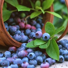 Blueberry Fruit Seeds, Balcony Bonsai Edible Fruit seed Tree Seeds, Indoor, Outdoor Available Blueberry Tree, Blueberry Farm, Purple Food, Fruit Seeds, Tree Seeds, Fruits And Vegetables, Fresh Fruit, Herbalism, Foods