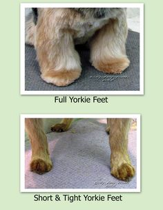 Pet Grooming: The Good, The Bad, & The Furry: Tuesday's Tip 21 Trimming Feet////// My personal opinion is that I try very hard to not let the nails show as in the groom done by someone else in the above picture. It just looks so much better to NOT see nails, I especially think a Golden looks better with nails camouflaged, so I use either a 4f on the foot or thinning shears, just sayin......