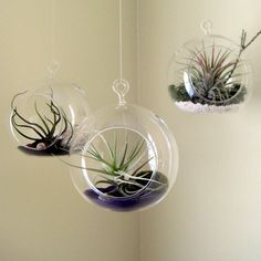 Cheap air plants, Buy Quality glass hanging planters directly from China hanging planter Suppliers: Hanging Glass Air Plant Planters,Opening 2 Side Holes in Orb Terrarium,Hanging Succulents Glass Globe Holders Hanging Terrarium, Air Plant Terrarium, Glass Terrarium, Terrarium Ideas, Air Plants Care, Plant Care, Hanging Air Plants, Indoor Plants, Hanging Gardens