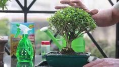 Como cuidar de Bonsai Como cuidar de BonsaiA Ideal Bonsai mostra dicas de como cuidar de um bonsai para você manter o seu bonsai bonito e saudável. Qualquer dúvida entre em contato atendimento@idealbonsai.com.br ou (51) 35936966 Acesse nossa Loja Virtual www.idealbonsai.com.br olá pessoal eu sou gm daewoo bonsai estou aqui para dar algumas dicas para que vamos manter seu bom sai bonito e saudável a primeira dica é em relação ao sol todo bom site precisa pegar no mínimo duas horas só por dia você Bonsai Trees, Youtube, Photos, Organic Fertilizer, Herbs, Gardening, Garden, Musicals, Landscaping