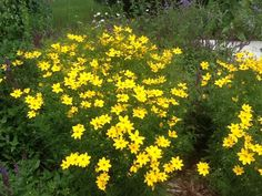 Threadleaf Coreopsis (coreopsis verticillata): This looks like Moonbeam Coreopsis. You'll be able to confirm the identity once it blooms. 'Moonbeam' has pale yellow flowers. Other varieties have more golden yellow flowers. No matter what the color, they're plentiful! If you remove the spent blossoms, or deadhead, Threadleaf Coreopsis will continue to bloom. If this description doesn't fit your plant, send us another photo when it's blooming and we'll try again!
