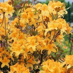 Mustilasta lähtöisin oleva lajike. Tummankeltaiset hieman oranssiinvivahtavat kukat.
