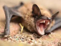 Do You Need San Antonio Bat Removal?