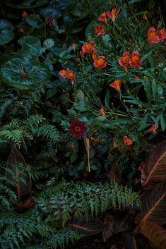 Ayrlies New Zealand McConnell garden: Rich reds and greens complement each other in a mix of dahlias, glossy-leafed farfugium, ferns, variegated canna foliage, and alstroemeria