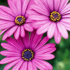 Osteospermum - a favorite of mine for the flower pots