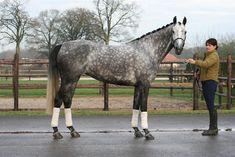 Grey Dutch Warmblood | Go Back > Gallery For > Grey Dutch Warmblood Horse
