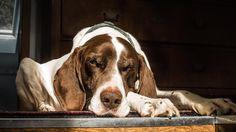 #dogsofinstagram #watchdog #sleepingdogs #pointersofinstagram #beauty #dogpic #teamcanon #canon5dmarkiii #5dmarkiii #5d #canonphotography