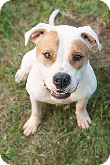 Winston-Salem, NC - American Bulldog. Meet Bandit, a dog for adoption. http://www.adoptapet.com/pet/13765498-winston-salem-north-carolina-american-bulldog