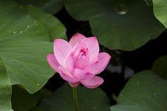 Lotus, Natuur, Planten, Bloemen