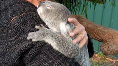 koala bear reuniting with owner Baby Bear Cub, Baby Koala, Koala Bears, Animals And Pets, Baby Animals, Super Cute Animals, Adorable Animals, Australia Animals, Cute Bears