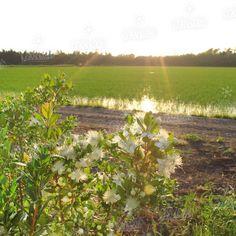 #risaia #piantine #riso #passiu #agricolapassiu #sardegna #oristano #italy #country #fields #rice