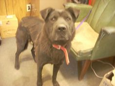 Meet # 17 AVAILABLE ! ( CHLOE, 4 YRS, MOM TO # 18 ) a Petfinder adoptable Black Labrador Retriever Dog | Carrollton, OH | Available for a limited time from the Carroll County Dog Pound, 2185 Kensington Rd. NE, Route 9,...