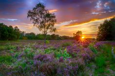 Sunset on blooming heather - Yesterday i went out too the blooming heather in the north of the Netherlands .