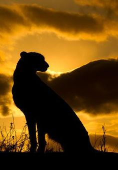 Cheetah at Sunset - Big Cat Reserve... By Artist Unknown...