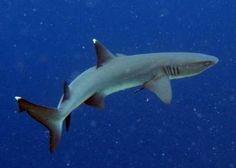 La población de tiburones se diezma cada año para hacer sopas de aleta