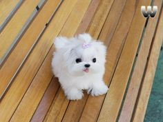 Mini Maltese named Cody! ::type of pup i must have, so cute!!!!::