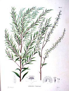 Flora Japonica, Sectio Prima (Tafelband) (1870), Spiraea thunbergii