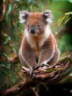 ☀Koala - Barwon Heads Wildlife Sanctuary - Victoria - Australia*