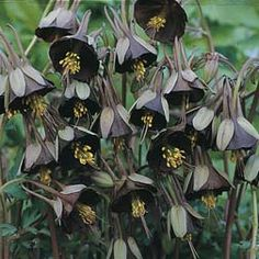 Aquilegia Viridiflora Chocolate Soldier: I would love to have these. Very unique looking flowers.
