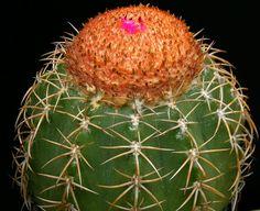 Melocactus jansenianus