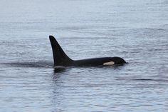 L85 Mystery off of San Juan Island on 9/19/16 | Melisa Pinnow photo