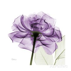 Purple Rose X-Ray Photograph Wall Art, Canvas Prints, Framed Prints, Wall Peels Frames On Wall, Framed Wall Art, Canvas Wall Art, Wall Art Prints, Poster Prints, Framed Prints, Big Canvas, Canvas Prints, Posters