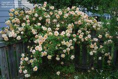 Full size picture of Noisette, Tea Noisette Rose 'Crepuscule' (<i>Rosa</i>)