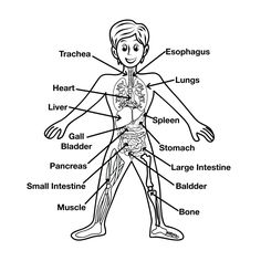 Muscular, skeletal systems