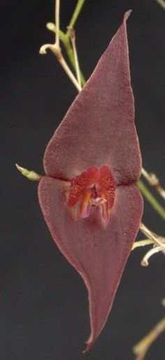 Miniature-orchid / Micro-orquidea: Lepanthes elegantula