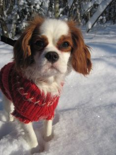 Snow sweater for the snow dog