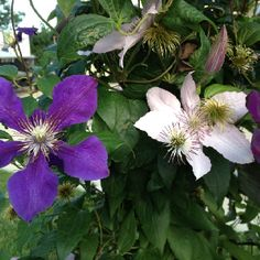 A beautiful clematis on a mailbox.