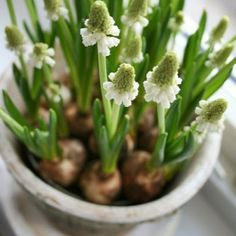 white muscari - bulbs