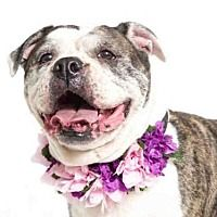 Orlando Fl American Bulldog Meet Brook A Dog For Adoption With Images Dog Adoption Cat Adoption Pitbull Terrier