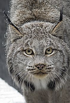 'Lynx' | ©Wim Tewinkel This is a great photo! Look at the fine detail of the fur! Are those teensy snowflakes or sunlight reflecting from hair tips?    Pinned from lightspacetime.com