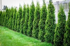 15 Best Plants to Grow for Privacy in the Backyard - Architecture Lab