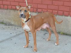 ~BEAUTIFUL 2 YR OLD LITTLE GIRL TO BE DESTROYED - 08/10/14~ Brooklyn Center -P  My name is SHEBA. My Animal ID # is A1008783. I am a female tan and white pit bull mix. The shelter thinks I am about 2 YEARS   I came in the shelter as a STRAY on 07/31/2014 from NY 11223, owner surrender reason stated was ABANDON.