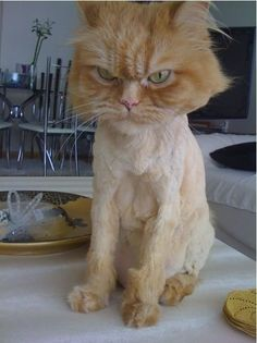 shaved cat funny quotes memes quote cat meme lol funny quote funny quotes humor Awww to b young again! Funny Shit, Funny Cute, Crazy Cat Lady, Crazy Cats, Chat Bizarre, I Love Cats, Cute Cats, Shaved Cat, Memes Lol