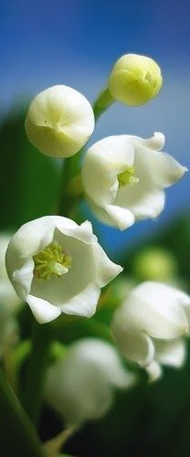 Lily of the Valley Beautiful...