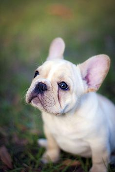 i love french bulldogs