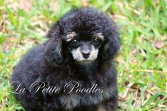 www.lapetitepoodles.com