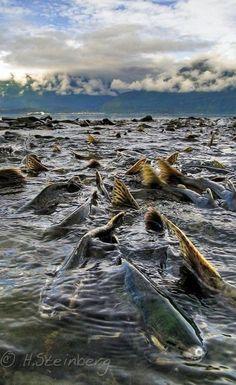 Fishing Discover - Alaska Salmon Run - Runner-up OPOTY Alaska Salmon Run Valdez Prince William Sound Alaska by Hauke Steinberg Fauna Marina, Salmon Run, Gone Fishing, Alaska Fishing, Alaska Travel, Alaska Cruise, Seen, Trout Fishing, Kayak Fishing