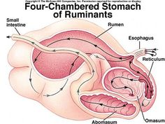 Ruminant stomach Ag Science, Animal Science, Veterinary Studies, Veterinary Medicine, Large Animal Vet, Large Animals, Cow Stomach, Cow Facts, Livestock Judging