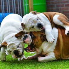 English Bulldogs can sleep anywhere