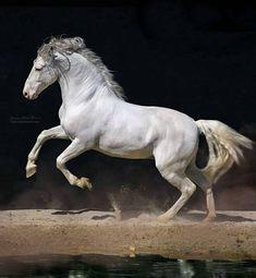 Carthusian Pura Raza Española stallion, Toledano XXXI, of Yeguada de la Cartuja. photo: Ignacio Alvar-Thomas.