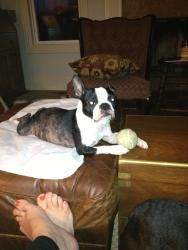 Lola is an adoptable Boston Terrier Dog in Nashville, TN. Hi my name is Lola. Everyone tells me I am a small, active girl, topping the scales at 15 lbs. My foster mom was told I am appx. 7 years old b...