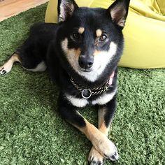 セクシーあずき sexy Azuki #ひめあず#あずき #菜々緒ポーズ #お手手版 #クロス #shiba_snap#柴犬#shibastagram#dog#shibainu#kawaii#cute #Regram via @himeko_azuki