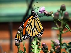 Monarch photograph by WaterDropletDesigns on Etsy