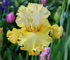 A blog about the iris world for all iris lovers. 'Dream Team' Iris